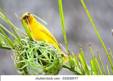 Weaving bird (golden palm weaver - Ploceus bojeri) is building a new nest, Africa