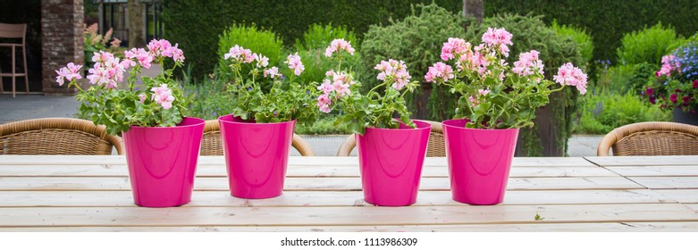 Web banner with colorful pink genarium plants in pink potrs