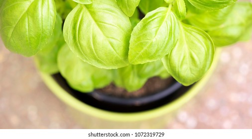 Web banner of fresh green basil leaves with blank, copy space