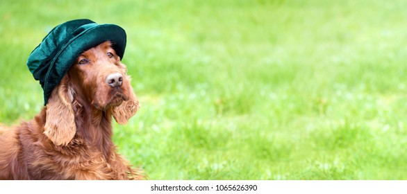 Web banner of a funny Irish Setter dog as looking in a green hat with blank, copy space