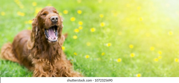 Web banner of a funny Irish Setter dog as laughing in summer
