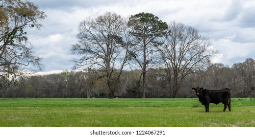 Web banner of a lone Angus beef cow in a ryegrass pasture in early spring in the Southern United States.