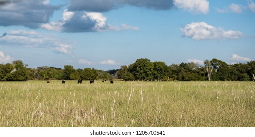 Web banner of mature grasses in a late summer pasture in the South Eastern Coastal Plain with cattle grazing in the distance.