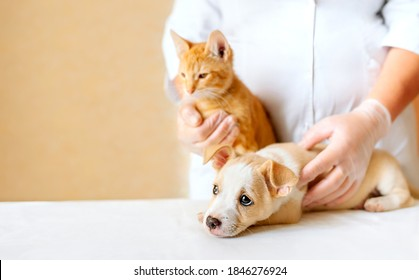 Web banner with puppy and kitten in veterinarian doctor hands at animal clinic, copy space. Female vet doctor holding cute ginger puppy and kitten Vet examining, Pet check, dog and cat health care.