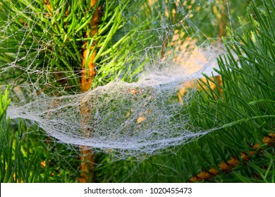 A web in the dew, on a pine tree, on a summer day.