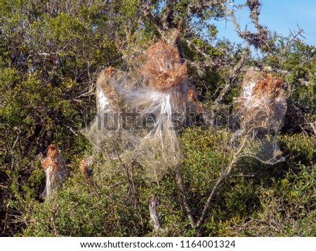 Web of the Social Spider (Stegodyphus ) in the Addo Elephant Park, South Africa.