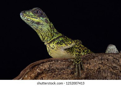 Weber's sailfin lizard (Hydrosaurus weberi)