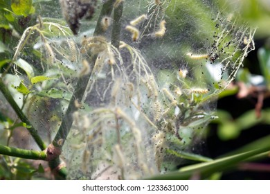 Webworm larva of the Ailanthus Webworm Moth feeding and growing together in a silken web covering a tree branch in autumn