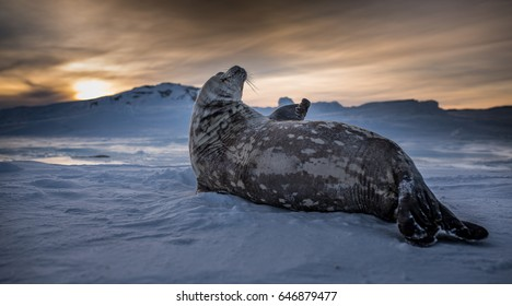 Weddell Seal in Antarctic Winter Sunlight