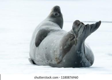 Weddell Seal (Leptonychotes weddellii) - Head the Ball