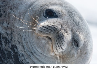 Weddell Seal (Leptonychotes weddellii) - You Cant Be Serious