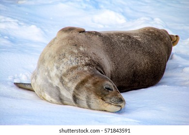 Weddell seal on Deception Island in Antarctica