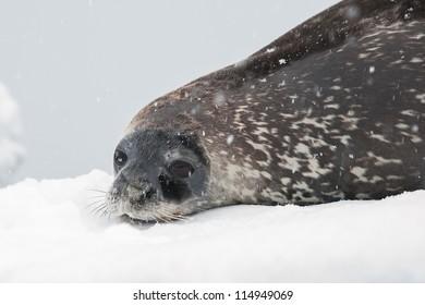 Weddell seal on the iceberg.