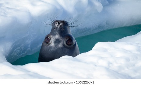 Weddell seal peeking up through a breathing hole in the ice