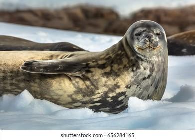 Weddell seal at the shore - Antarctic peninsula