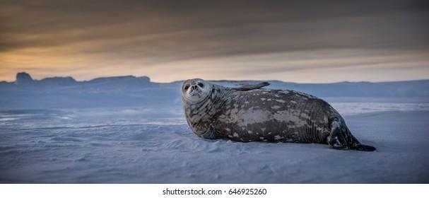 Weddell Seal Sitting up in Antarctica