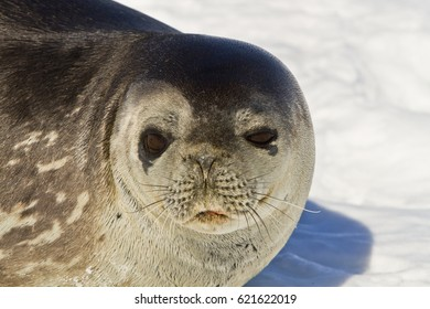 weddell seal(Leptonychotes weddelli) resting on sea ice, East Antarctica