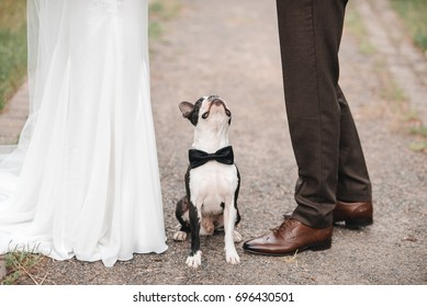 wedding dog on the background of the feet on the grass, wearing bow tie. Bride and groom wedding with dog. boston terrier. Love dogs