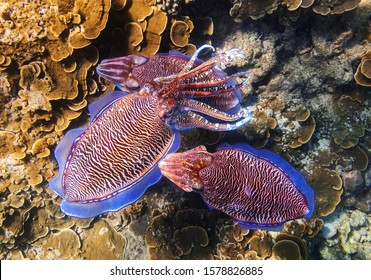 Сuttlefish wedding. Two males and female cuttlefish during fertilization. Underwater photo of animals sexual life. Marine molluscs in sea water. Phuket, Thailand