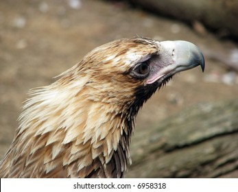 wedge tail eagle close up