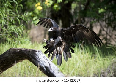 Wedge Tail Eagle comes in to land on a tree branch