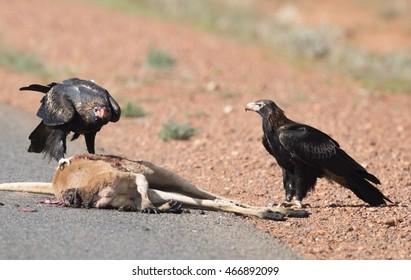 wedge tail eagle feeding on kangaroo road kill