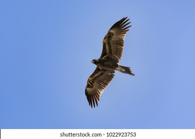 A wedge tail eagle flying in Australia. The large predator is hunting from the sky with its large wings fully open,