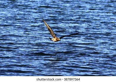 Wedge Tail Eagle Flying low over the Ocean in Tasmania