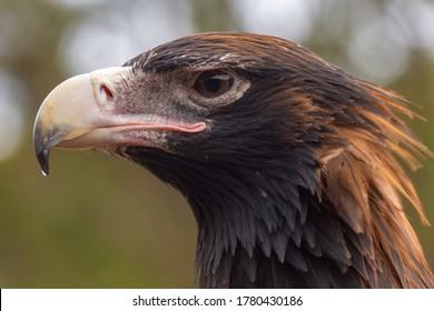 Wedge Tail eagle head closeup showing beak and eye in Kangaroo Island Australia