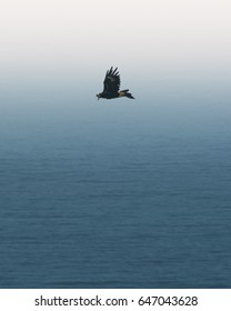 Wedge Tail Eagle soaring over the ocean with gradient background