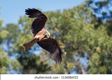 The wedge tailed eagle or bunjil Aquila audax is the largest bird of prey in Australia