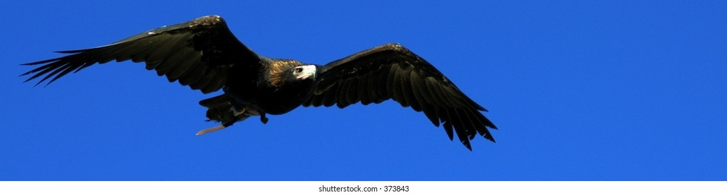 Wedge tailed eagle in flight