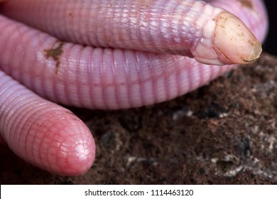 The Wedgesnouted Worm Lizard (Monopeltis decosteri) is a unique, bizar, legless lizard species, rarely seen because found underground in Southern Africa.