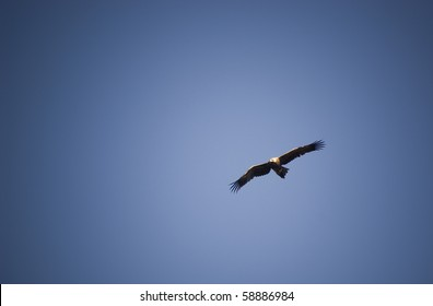 Wedge-Tail eagle in full flight on blue sky with copy space