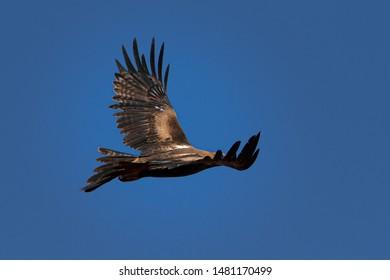 Wedge-tailed eagle  Aquila Audax)  Australia