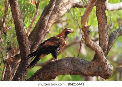 Wedge-tailed Eagle (Aquila audax) in Australia