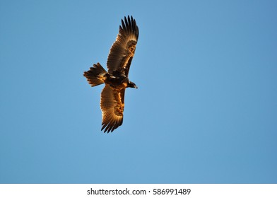 Wedge-tailed Eagle, Aquila audax,on the Oodnadatta Track, outback South Australia.
