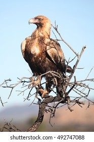 A Wedge-tailed Eagle in central Australia.
