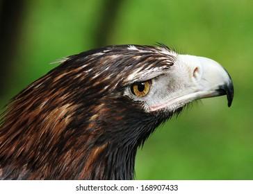 A Wedge-Tailed Eagle Closeup Image