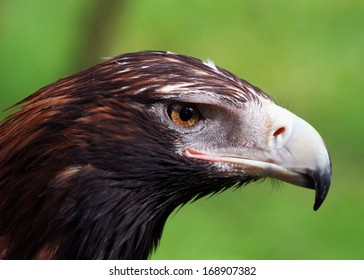 Wedge-Tailed Eagle Face Close-up Image