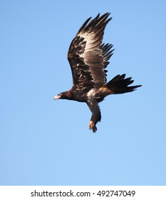A Wedge-tailed Eagle, in flight, in central Australia.