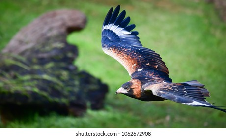 Wedge-tailed Eagle in flight. A largest Australia's raptors (birds of prey). Flying bird prepared for landing on the grassland with big rock, Green nature blur background.