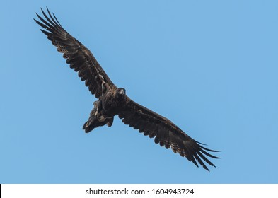 Wedge-tailed Eagle photo taken in Piggoreet,  victoria, Australia