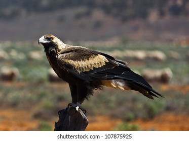 Wedge-tailed Eagle sitting on a fence post in the outback of South Australia. Sheep in background.