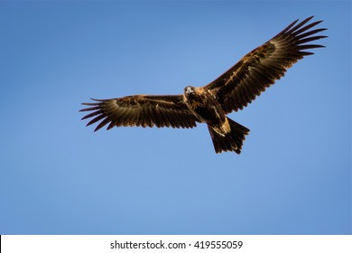 Wedge-tailed Eagle soaring and looking down with a blue sky background