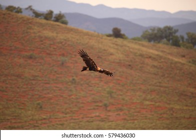 A Wedge-tailed Eagle soaring over a desert landscape in outback Australia.