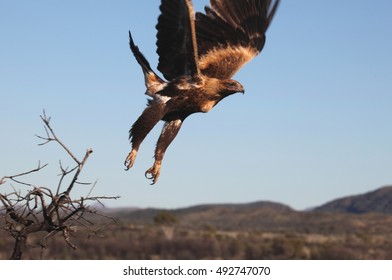 A Wedge-tailed Eagle takes flight in central Australia.