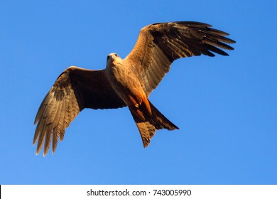 Wedge-tailed Eagle, Western Australia outback