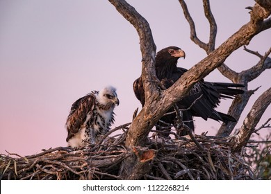 Wedge-tailed Eagle with a young on the nest