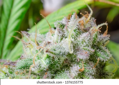 Weed Up Close with lots of Trichomes, Orange Hairs and Purple tipped leaves in front of other marijuana plants blurred in the background